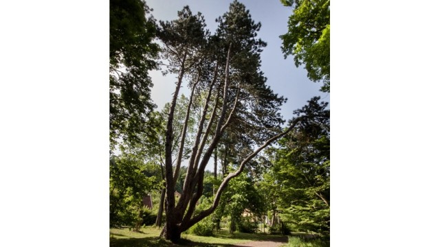 Velkoopatovická borovice v soutěži o strom Evropy