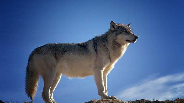 Počty vlků v Beskydech dlouhodobě stagnují: nová studie dokládá vliv jejich lovu na Slovensku