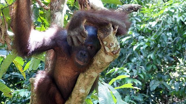 Orangutani versus palmový olej