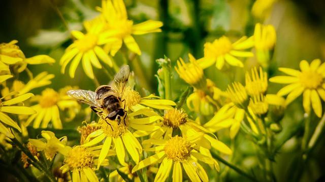 KONOPNÝ MED – úspěch francouzského včelaře