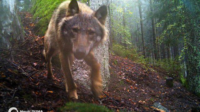 Po stopách vlků v Pošumaví. Nové údaje o výskytu šelem v Pošumaví od dobrovolníků Rysích hlídek