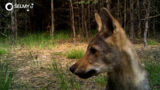 Vlk sražený nedávno na dálnici D1 přišel až z Karpat