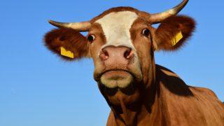 Jíst či nejíst maso