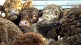 Brutální zacházení s hospodářskými zvířaty exportovanými z EU včetně ČR