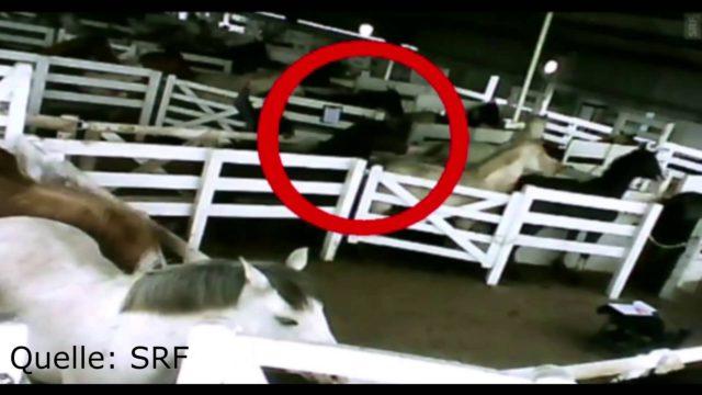Nechutná farmaceutická praxe: firmy nechávají krvácet koně, aby získaly hormon využívaný pro zvýšení produkce prasat